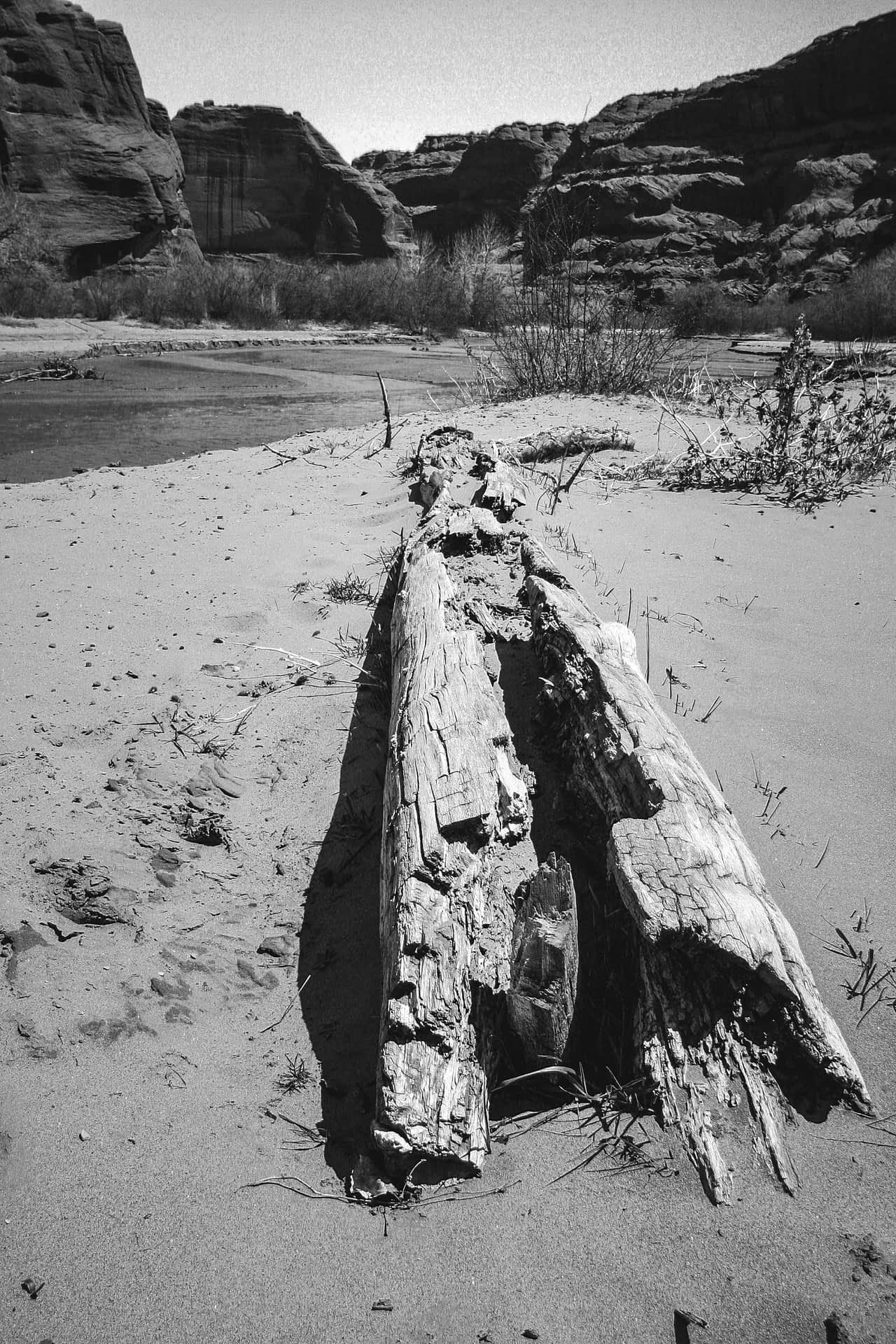 Dead Tree on Chama Riverbank
